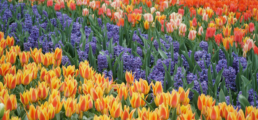 Field of multicolored tulips