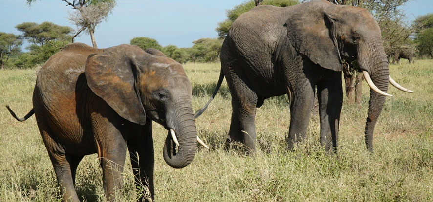 Up close image of two elephants in Tanzania