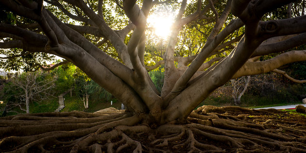 The sun shines through the hefty branches of a massive tree